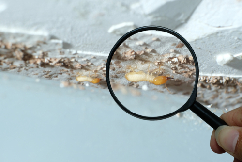 Termites: Swarm Season Is Here