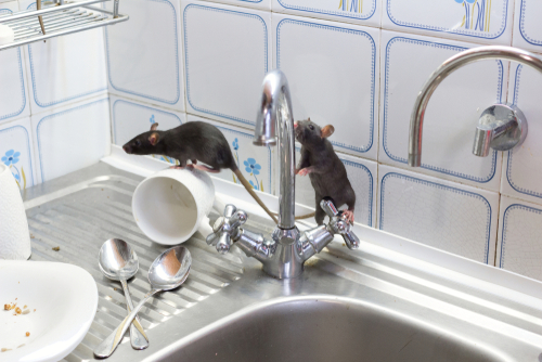 How Do Rodents Get Into Your Home?
