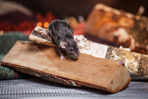 Rodent Prevention Tips for This Winter